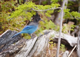 Profile of a bright blue bird perched on a piece of wood.